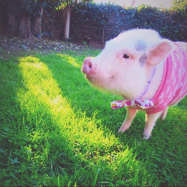 hamlet_the_piggy