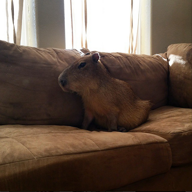 oejoe_the_capybara