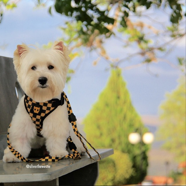 oliverthewestie